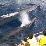 ホエールウォッチングは沖縄だけじゃない!奄美大島のホエールウォッチングでクジラと触れ合おう!