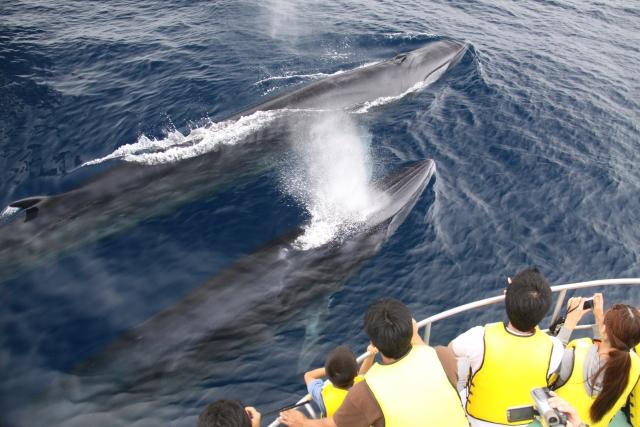 「ホエールウォッチングは沖縄だけじゃない!奄美大島のホエールウォッチングでクジラと触れ合おう!」のアイキャッチ画像