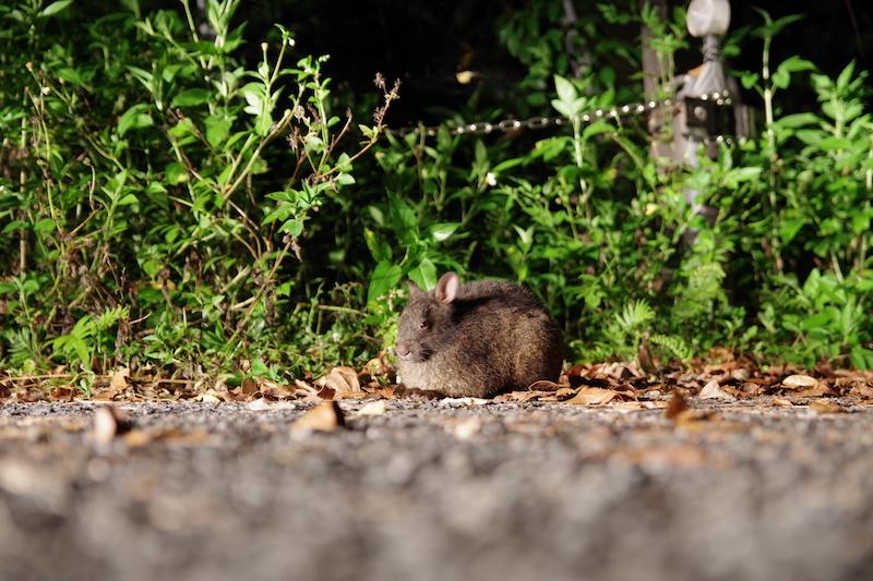 「クロウサギは奄美大島のどこで見れる?黒うさぎのナイトツアーの場所や料金(値段)を調査!」のアイキャッチ画像